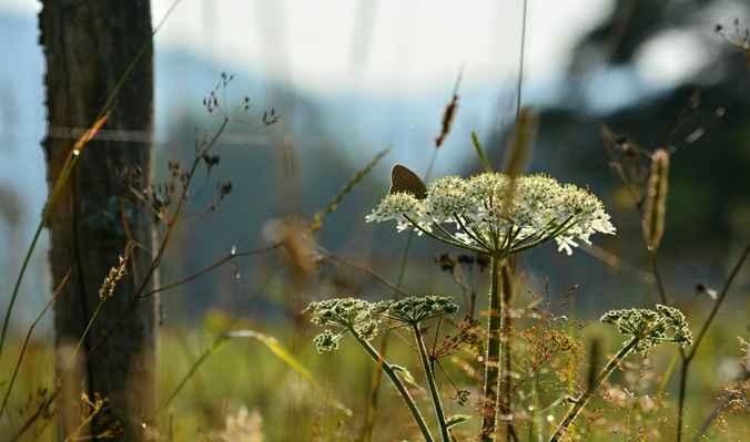 Motýlů letos přehršle. Fšak uvidíte.