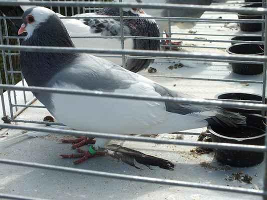 Poštovní holub.